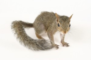 Gray Squirrels  - Rodent control