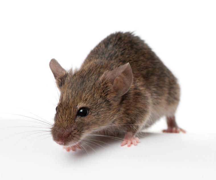 Mice – Winter Intruders