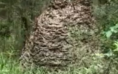 One of the biggest wasp nests you will ever see!